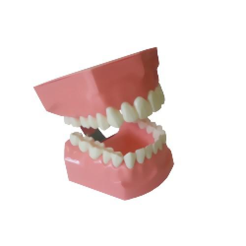 Демонстрационная модель челюсти Paro